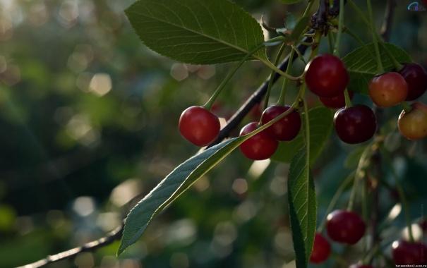 Фото обои красные, зелень, листва, ягоды