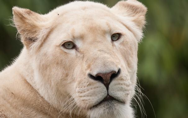 Фото обои кошка, взгляд, морда, львица, белый лев