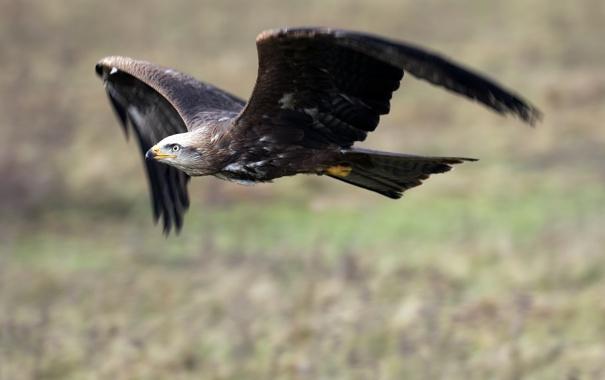 Фото обои полет, фон, птица, орел, крылья