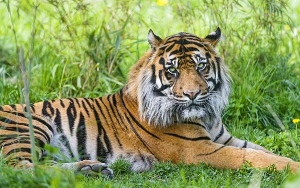 Фото обои трава, тигр, отдых, ©Tambako The Jaguar, суматранский
