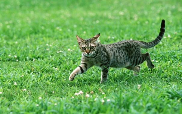 Фото обои кот, полосатый, трава, взгляд