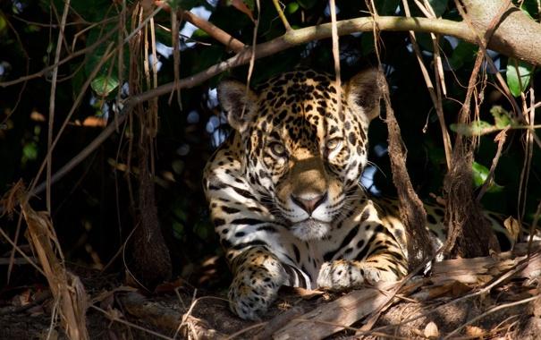 Фото обои морда, свет, заросли, отдых, хищник, ягуар, тени