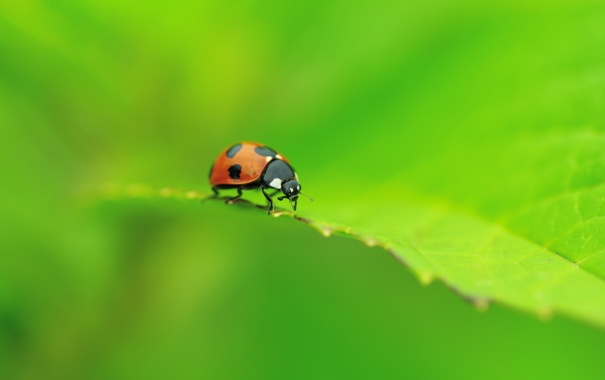Фото обои зелень, макро, лист, божья коровка, жук