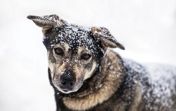 Фото обои взгляд, снег, собака