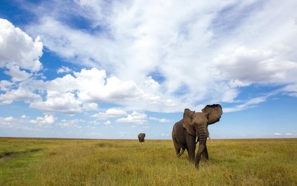 Фото обои поле, природа, слоны
