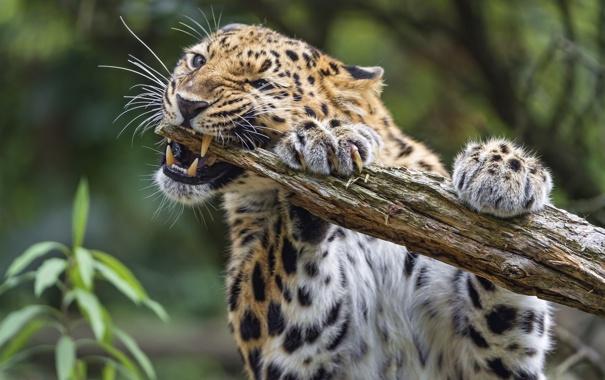 Фото обои кошка, леопард, бревно, амурский, ©Tambako The Jaguar
