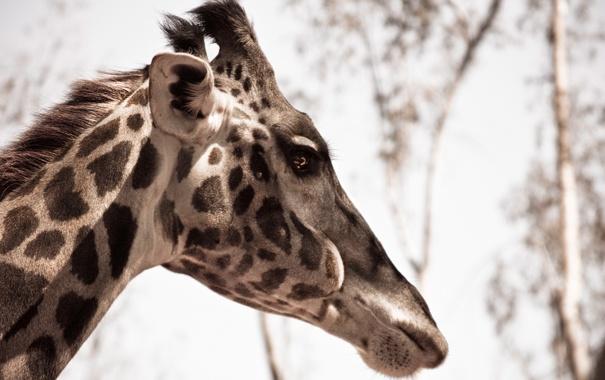 Фото обои макро, природа, жираф, animal, Giraffe