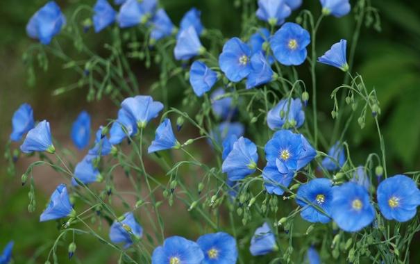Фото обои цветы, голубой, стебли, лён