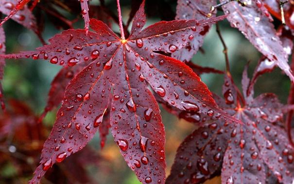 Фото обои осень, листья, капли, дождь, красные, прожилки