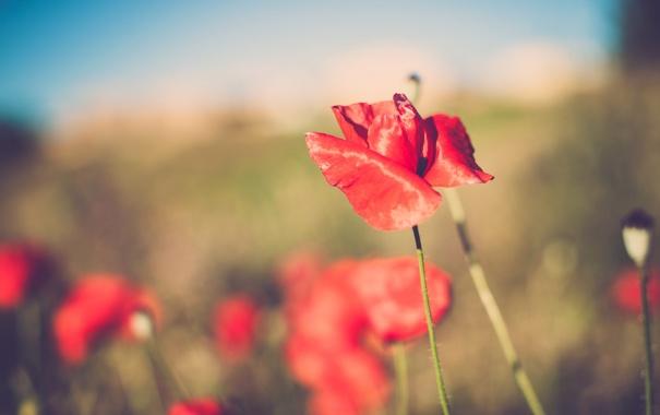 Фото обои цветок, лето, красный, мак, лепестки