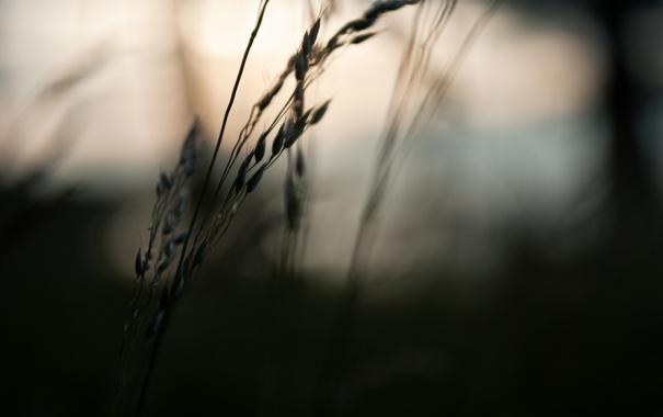 Фото обои поле, макро, природа, фото, тень, вечер, колосок
