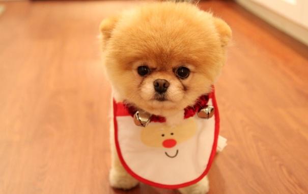 Фото обои колокольчики, собачка, нарядная, симпатяга