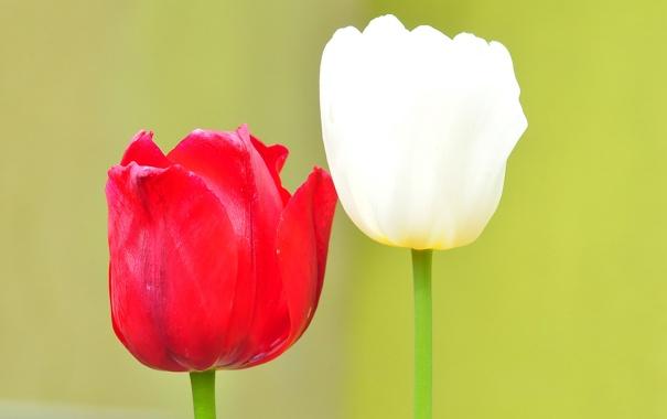 Фото обои макро, тюльпан, лепестки, стебель, пара