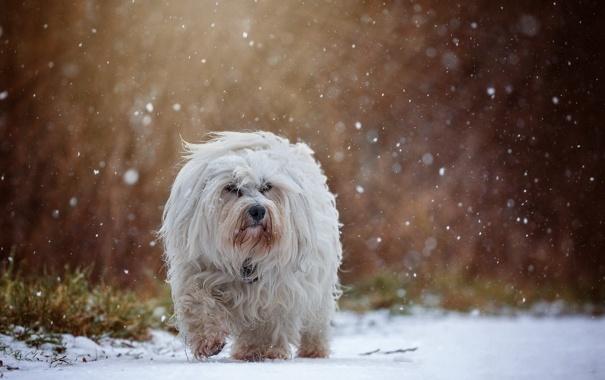 Фото обои осень, снег, собака