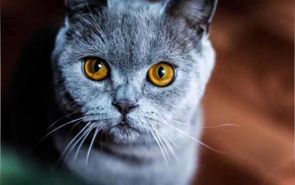 Фото обои кошка, взгляд, макро, животное, желтые глаза, породистая, окрас. уши