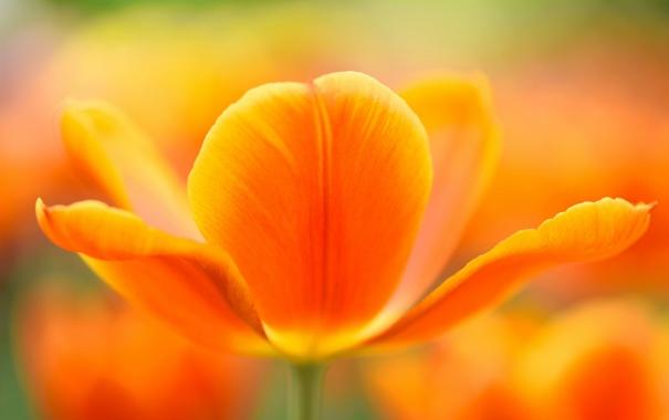 Фото обои цветок, тюльпан, весна, лепестки
