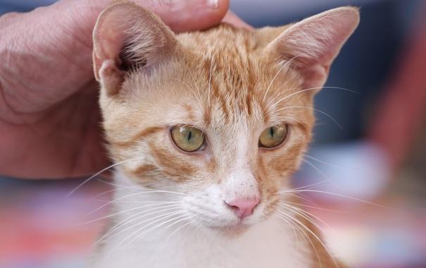 Фото обои белый, котенок, рука, рыжий, ласка