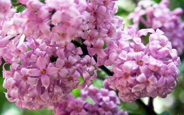 Фото обои цветок, розовый, сирень