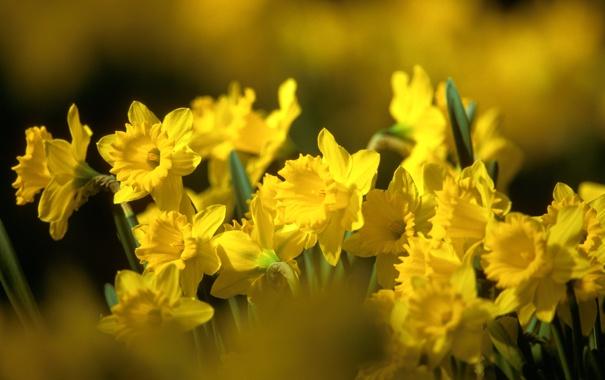 Фото обои листья, цветы, природа, весна, желтые, бутоны, нарциссы