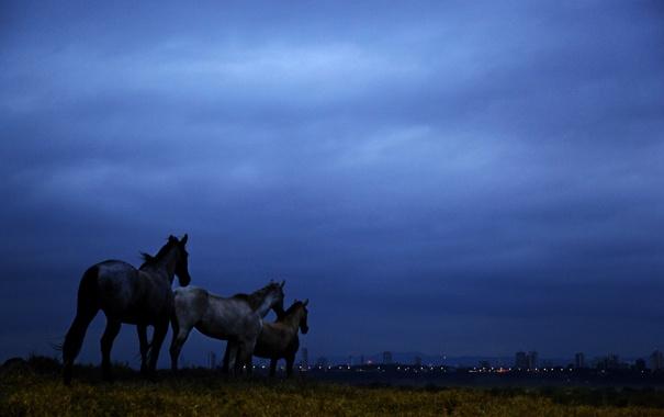 Фото обои поле, небо, облака, ночь, синий, лошади, сумерки