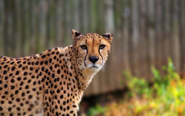 Фото обои взгляд, морда, хищник, гепард, профиль