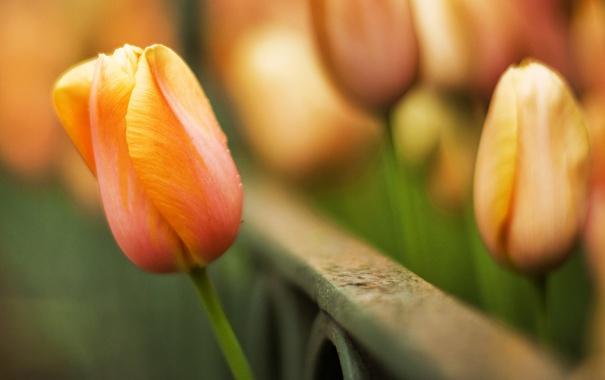 Фото обои макро, цветы, фото, тюльпаны, widescreen wallpapers, фоновые картинки, красивые обои для рабочего стола