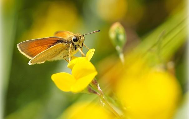 Фото обои цветок, желтый, фон, бабочка, размытость