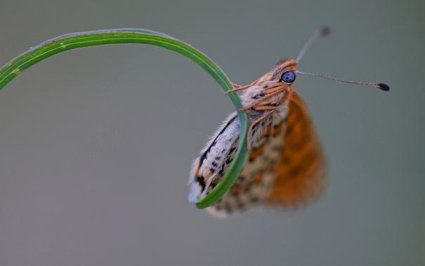 Фото обои трава, лист, бабочка, растение, насекомое, мотылек