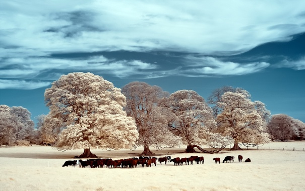 Фото обои поле, пейзаж, скот