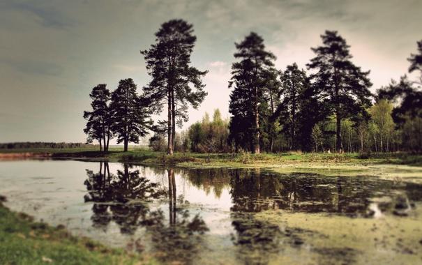 Фото обои вода, деревья, болото, тина, сосны