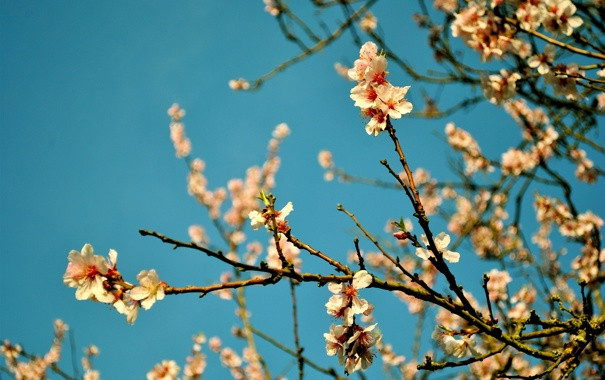 Фото обои небо, цветы, ветка, весна