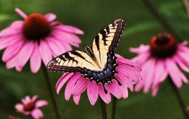Фото обои цветок, бабочка, парусник