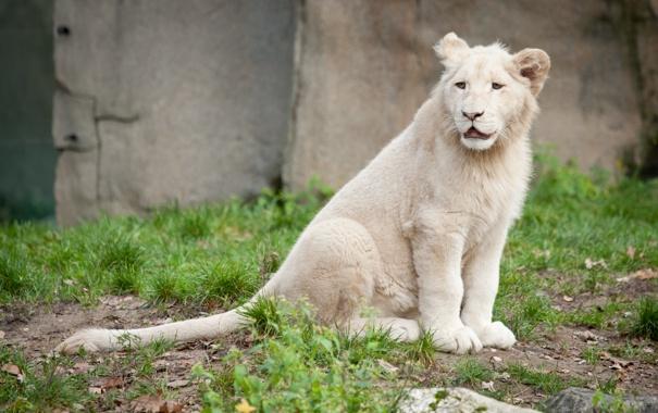 Фото обои кошка, трава, детёныш, котёнок, львёнок, белый лев