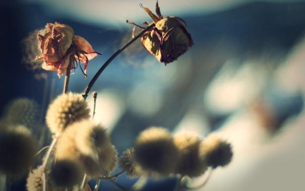 Фото обои макро, цветы, фото, розы, фоновые обои для рабочего стола