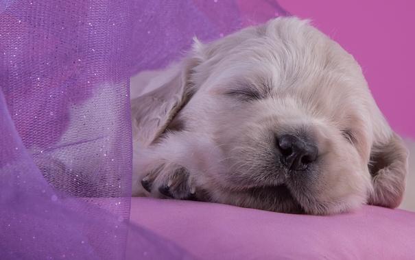 Фото обои сон, малыш, милый, щенок, золотистый ретривер