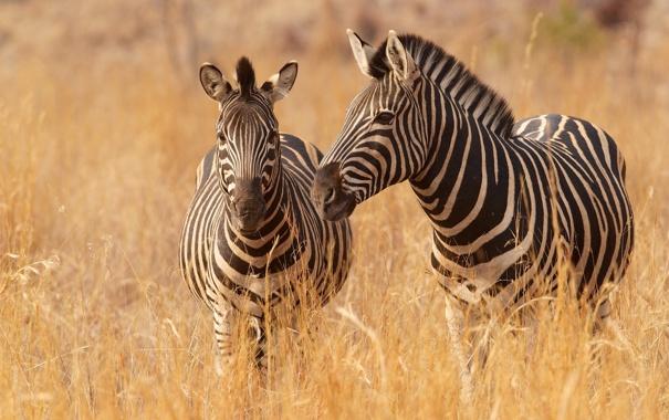 Фото обои трава, саванна, зебры