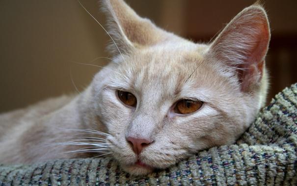 Фото обои кошка, кот, лежит, cat, карие глаза
