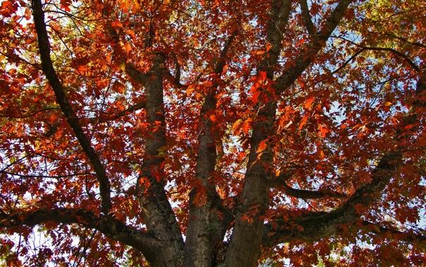 Фото обои осень, дерево, дуб, Oakfall