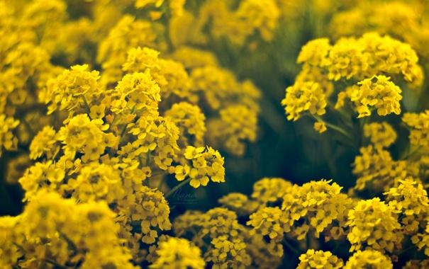 Фото обои цветы, желтые, мелкие