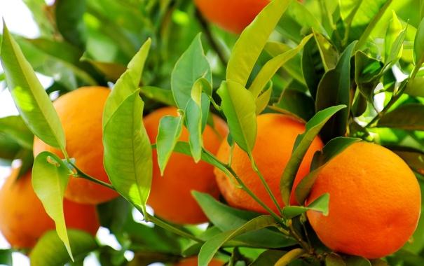 Фото обои апельсины, oranges, leaves, fruits