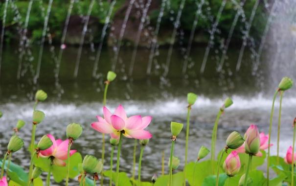 Фото обои листья, вода, парк, лепестки, лотос, фонтан