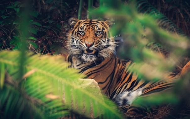 Фото обои морда, тигр, заросли, злость, хищник, клыки, оскал