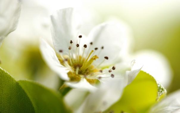 Фото обои белый, цветок, макро, лепестки, тычинки, яблоня