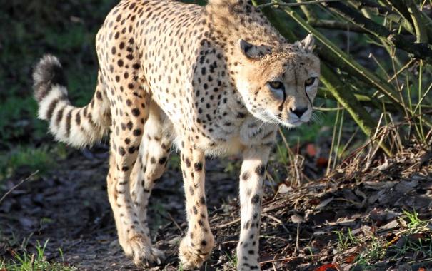 Фото обои кошка, гепард, прогулка