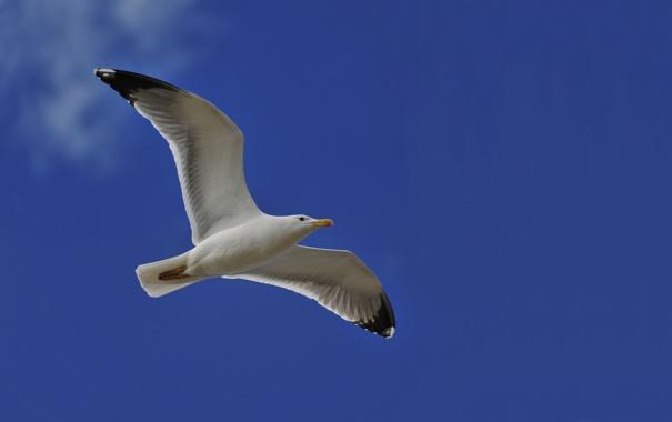 Фото обои небо, голубое, чайка, питца