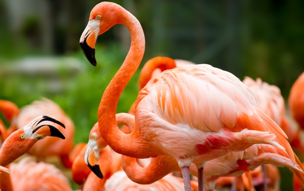 Фото обои зелень, птицы, фламинго
