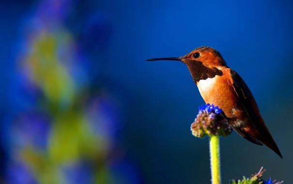 Фото обои природа, птица, клюв, колибри