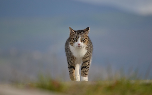 Фото обои кот, трава, прогулка, природа, размытость, кошка
