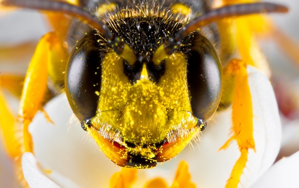 Фото обои цветок, пчела, пыльца, глазки, мордашка