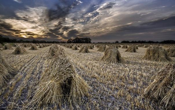 Фото обои поле, пейзаж, закат, колосья